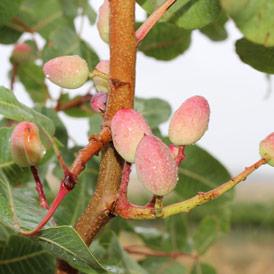 finca las caraballas cultivos ecológicos pistachos verdejo ecológico