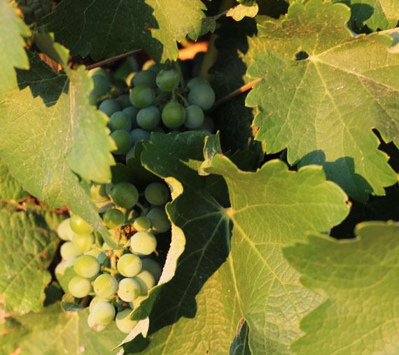 entorno y viñedos finca las caraballas uva chardonnay