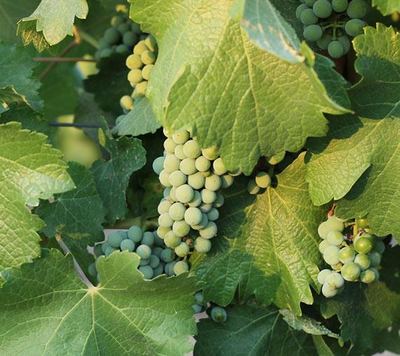 entorno y viñedos finca las caraballas uva sauvignon ecologico